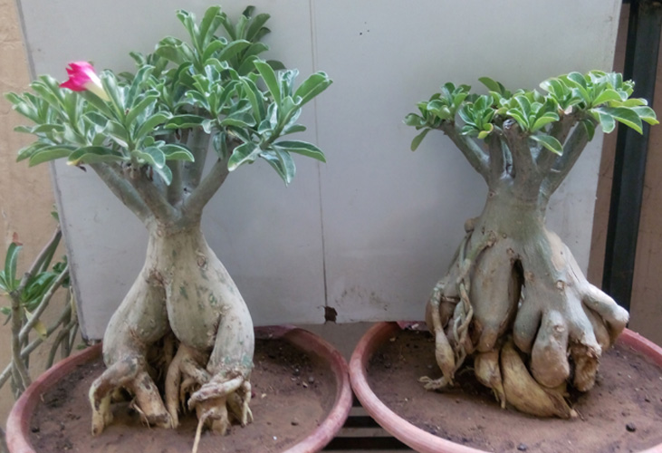 buy Adenium plants online